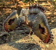 A displaying Sunbittern by Jon Hornbuckle. Eurypyga helias This terrific bird is so different to any other it's in a family of its own. It occurs from Guatemala south to Brazil.