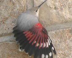 Tichodrome échelette filmé ( hiver ) sur l'église de St Robert, Corrèze,France . Cet oiseau ,assez rare passe l'hiver sur des églises ,ponts barrages ,chatea...