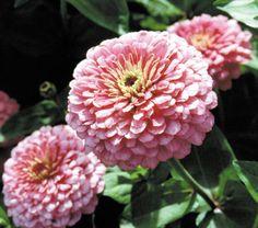 "400 seeds - Heirloom /  Zinnia (Zinnia Elegans Dahlia Flowered Luminosa Pink – Sweet, pastel-pink 4-5 inch blooms. Cut and come again. Ht. 30-40 """