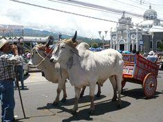 Bueyes en Cartago