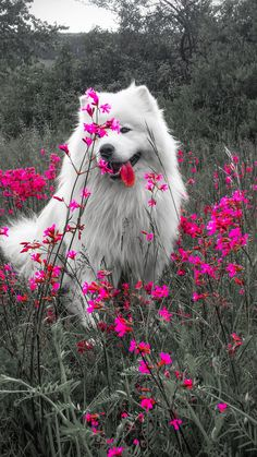 Happy dog --- white dog and pink flowers