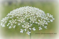 Life at Rossmont: Q is for Queen Anne's Lace