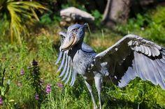 A cegonha-bico-de-sapato é uma ave de bico grosso, grande, largo e comprido, que lhe confere a aparência de um cetáceo. Vive em regiões pantanosas localizadas no centro do continente africano. Alimenta-se, basicamente, de peixes e rãs.