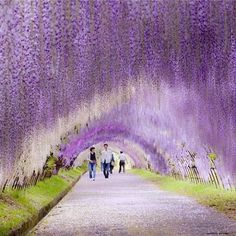 """My Modern Met (@mymodernmet) on Instagram: """"Walking through Wisteria trees is like a journey through a fairy tale. This one is in Kawachi…"""""""