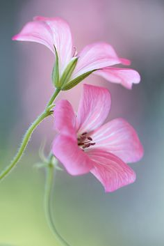 ~~Cranesbill ~ Geranium by Mandy Disher~~