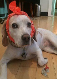 Sophie the 'Riveting Lemon Beagle!' #dog #dogs #hipster