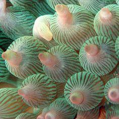 Bulb-Tentacle Sea Anemone by sakichin