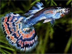 how to take care of white cloud mountain minnows