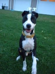 Bandit is an adoptable Terrier Dog in Terryville, CT. Bandit is a 10 month old Terrier/Hound mix. This boy has total puppy energy! He's playful and has a full head of steam to burn. Bandit loves playi...