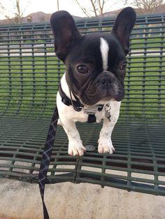 Louis, the French Bulldog Puppy. #bulldogpuppy