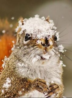 """Squirrel:  """"Oh!  That walnut tree doesn't like me!  It's dropped snow upon my head: Well honestly, enough said!""""  (Written By: © Lynn Chateau.)"""