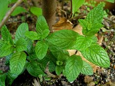 plantas_medicinales_22