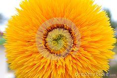 Big Yellow Sunflower - (C) Celia Ascenso 2016