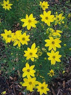 Sun-loving coreopsis comes in a lot of varieties and looks. Most have their big flush of bloom in late spring to early summer or midsummer. Deadheading coreopsis will encourage more flowering and some like, 'Sunfire,' bloom until frost.
