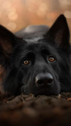 German Shepherd Black Pet Dog Ultra HD Mobile WallpaperFor National Black Dog Day, lets all consider black dogs and make sure that next time we are Black German Shepherd Dog, German Shepherd Training, Working Dogs, Beautiful Dogs, I Love Dogs, Best Dogs, Dog Breeds, Pets, Mobile Wallpaper