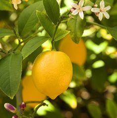 Zitronenbaum Pflege - Nützliche Tipps, wie Sie einen Zitronenbaum im Innen- und Außenbereich züchten. Das Züchten eines Zitronenbaums ist nicht so schwer...