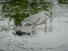 Gator in the swamp of New Orleans