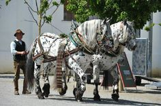 Noriker Pinzgauer horses, which come from Austria. They were originally used to…