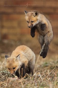 An opportunistic fox kit leaps into the air in an attempt to tackle its unsuspecting sibling.