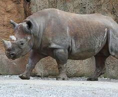 15 animales extintos en los últimos 250 años - RINOCERONTE NEGRO DE ÁF. OCCID. Es el animal más recientemente extinto en esta lista. En 2011, esta subespecie de rinoceronte desapareció del centro de África Occidental. ¿Puedes adivinar por qué? La caza de los humanos que comercializan prácticamente todo su cuerpo.