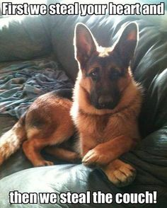 Wicked Training Your German Shepherd Dog Ideas. Mind Blowing Training Your German Shepherd Dog Ideas. Humor Animal, Animal Memes, Cute Puppies, Cute Dogs, Dogs And Puppies, Doggies, Samoyed Puppies, Havanese Dogs, Chihuahua Dogs
