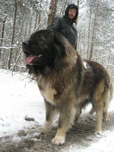 The Caucasian Mountain Dog was developed in medieval Russia for guarding livestock. It is a powerful, robust breed, popular at Russian dog shows. Its temperament remains cautious with strangers & difficult to obedience train. It is not recommended with Huge Dogs, Giant Dogs, I Love Dogs, Russian Bear Dog, Caucasian Shepherd Dog, Caucasian Dog, Animals And Pets, Cute Animals, Big Dog Breeds