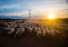 The sheep return when the sunset down