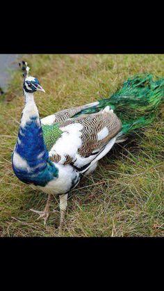 Multi-colored peacock