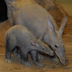 "Mama and baby Aardvark:) The aardvark (Orycteropus afer) is a medium-sized, burrowing, nocturnal mammal native to Africa. It is sometimes colloquially called ""African antbear"", ""anteater"", or the ""Cape anteater"" after the Cape of Good Hope. The name comes from earlier Afrikaans (erdvark) and means ""earth pig"" or ""ground pig"" (aarde earth/ground, vark pig), because of its burrowing habits, but is not related to the pig."