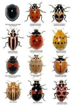 Zampa pulgones. Insectos que comen pulgones y nos ayudan a combatirlos. Si lo ves, no lo mates, trabajará gratis para ti.