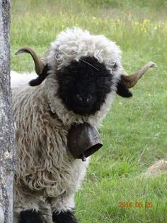 Black nosed sheep