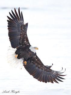Bald eagle attack of Prey Animals And Pets, Cute Animals, Where Eagles Dare, Eagle Pictures, Eagle Bird, Mundo Animal, Big Bird, Birds Of Prey, Beautiful Birds