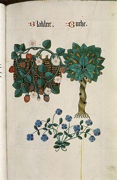 Blackberry and Birch I Tudor Herbal I 1520