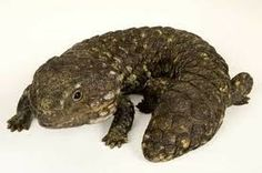 shingleback skink for sale | Shingleback Lizard