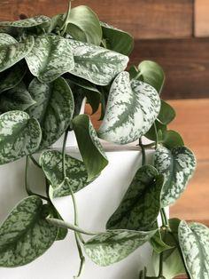 Scindapsus Pictus aka Pothos Silver Splash grow pot Free U. Plant Leaves, Plants, Silver, Plant, Planets, Money