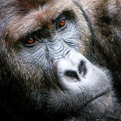 Incredible intensity. Origins Safaris loves this photo taken by Steve Turner. It captures the mystery of a gorillas' spirit perfectly. For more information on lowland gorilla trekking trips to RCA, please visit our website on: http://originsafaris.com/dzanga-bai-rca/