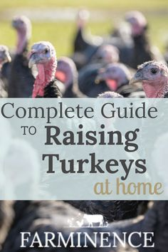 Homesteading Interested in raising turkeys? Raising turkeys for meat, eggs or as pets is an excellen Pet Turkey, Turkey Farm, Wild Turkey, Turkey Hunting, Raising Quail, Raising Ducks, Raising Chickens, Raising Farm Animals, Urban Chickens