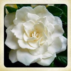 #photoadayMAY - a smell you adore. This is a Gardenia flower. I lurve Gardenias. Their gorgeous dark, glossy, green leaves with their flowers, white to cream coloured; smelling so beautiful but yet not overpowering, subtly fragrancing the garden, wafting into the house....
