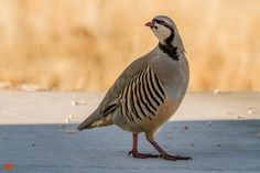 the Chukar #Partridge, native from #Asia, was introduced in North America as a game #bird. The Chukar is the National bird of #Pakistan and its name is derived from Chakor in #Sanskrit.