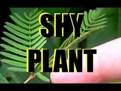 Mimosa Pudica or Sensitive Plant / Shy Plant / Touch-Me-Not Plant Touch Me Not Plant, Blood Pressure Range, Sensitive Plant, Potted Plants, Houseplants, Shrubs, Perennials, Plant Leaves, Projects To Try