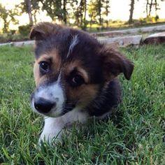 ビッグキスせずに5分を行くことはできません。このコーギーの子犬。 | 17 Puppy Faces You Actually Cannot Resist Kissing