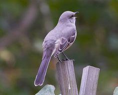 mockingbird-1008-2.jpg (807×650)