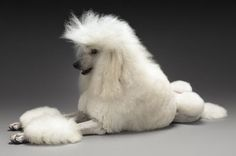 moodboard/moodboard/Getty Images http://dogcare.dailypuppy.com/royal-poodle-8194.html