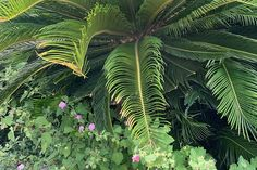 Sago palm makes a sturdy addition to the garden in warm climates. But what to do if pests and disease plague your cycads? Read more now on Gardener's Path. Sago Palm Tree, Palm Trees, Scale Insects, Types Of Insects, Citrus Trees, Seed Catalogs, Container Gardening, House Plants, Plant Leaves