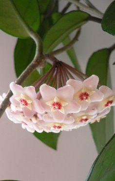 Hoya Vine Prune, Care & Maintenance - Daylilies in Australia