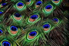 Pauwenveren, Verenkleed, Regenboogkleurig, Dierlijke