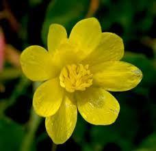 Basur Otu , Yağlı Çiçek - Şifalı Bitkiler Sözlüğü - Bitkisel Ürünler