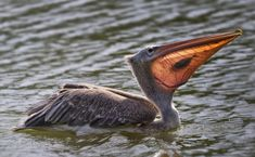 When the sun hits the pelican's beak at the right angle, you can see inside of it.