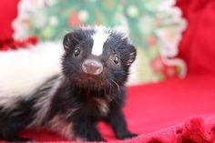 Merry Christmas from a blind little skunk named Stevie