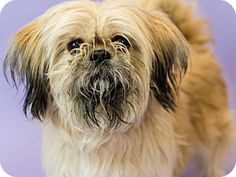 2/11/17 NYC ACC A1103068 New York, NY - Shih Tzu Mix. Meet SHAH, a dog for adoption. http://www.adoptapet.com/pet/17566299-new-york-new-york-shih-tzu-mix